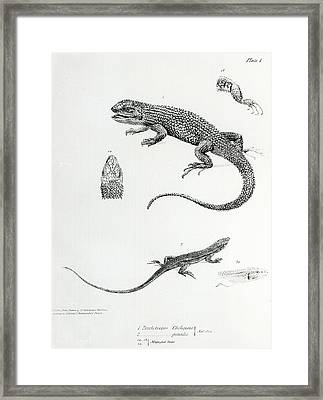 Shingled Iguana Framed Print by English School