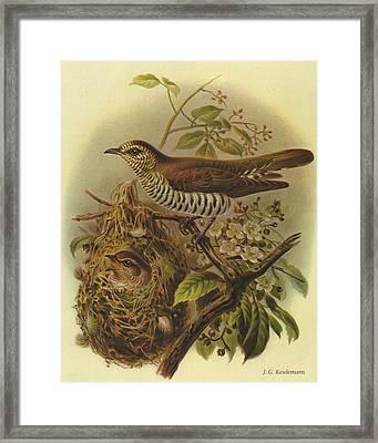 Shining Cuckoo Framed Print