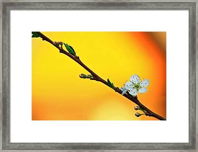 Shining Sakura Framed Print