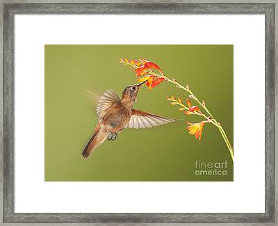 Shining Sunbeam Hummingbird Framed Print