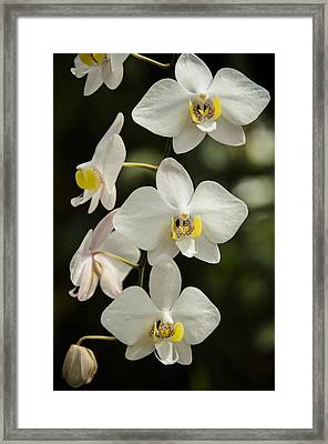 Shinning Orchids Framed Print by Penny Lisowski
