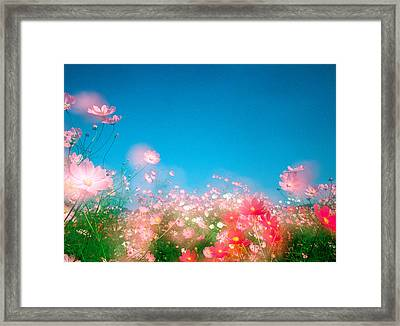 Shiny Pink Flowers In Bloom With Blue Framed Print by Panoramic Images
