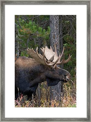 Shiras Bull Moose Framed Print