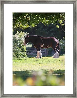 Shire Horse  Framed Print by Stephen Norris