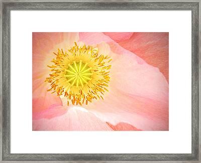 Shirley Poppy Center Framed Print by Chris Berry
