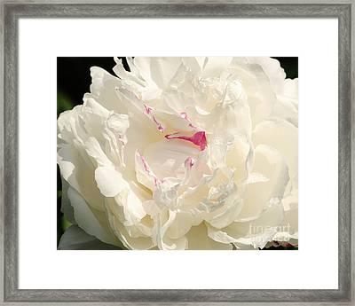 Shirley Temple Peony Framed Print