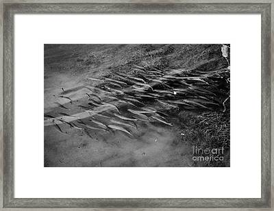 Shoal Of Silver Mullet Fish Swimming In The Shallows Islamorada Florida Keys Usa Framed Print
