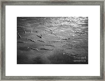 Shoal Of Silver Mullet Islamorada Florida Keys Usa Framed Print by Joe Fox