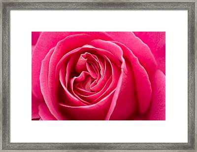 Shocking Pink Rose Framed Print