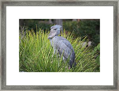 Shoebill Framed Print