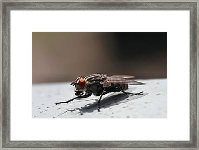Shoo Fly Framed Print