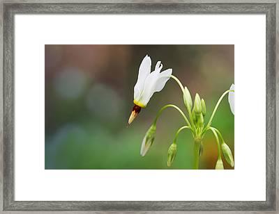Shooting Star Wildflower Framed Print by Melinda Fawver