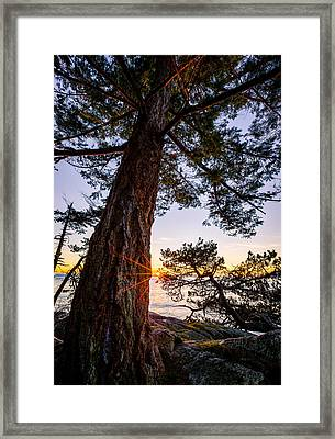 Shore Pine Point Framed Print by Alexis Birkill