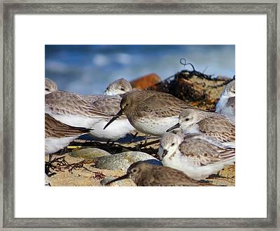 Shorebird's Huddle In The Wind Framed Print by Dianne Cowen