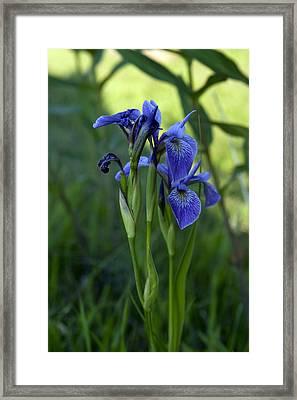 Shoreline Iris Framed Print by Bob Krzmarzick