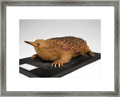 Short-beaked Echidna Framed Print by Ucl, Grant Museum Of Zoology