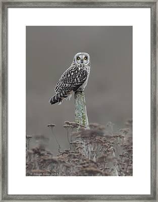 Short Ear Owl Framed Print by Daniel Behm
