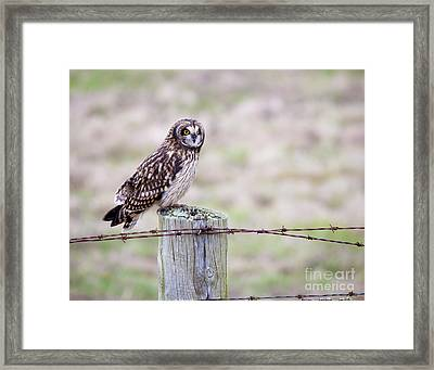 Short Eared Owl Boundary Bay Framed Print