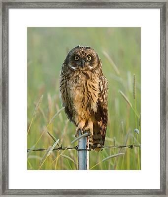 Short-eared Owl Framed Print by Doug Herr