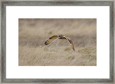 Short-eared Owl In Flight Framed Print
