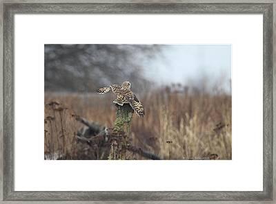 Short Eared Owl In Habitat Framed Print by Daniel Behm