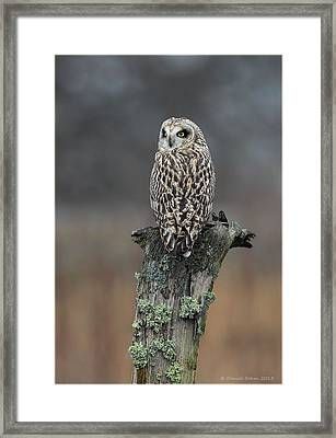 Short Eared Owl Perched Framed Print by Daniel Behm