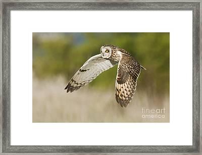 Short-eared Owl Framed Print