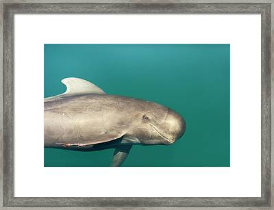 Short-finned Pilot Whale Framed Print