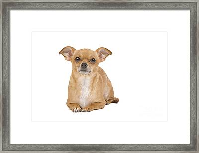 Short-haired Chihuahua Framed Print