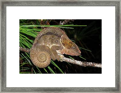 Short-horned Chameleon Framed Print by Dr P. Marazzi