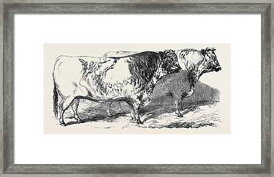 Short Horns, Class 1, First Prize, 40 Short Horns Framed Print