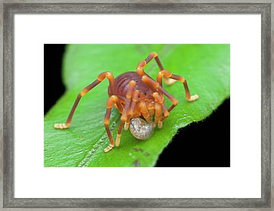 Short-legged Harvestman With Prey Framed Print by Melvyn Yeo