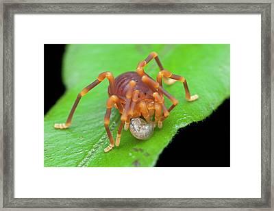 Short-legged Harvestman With Prey Framed Print