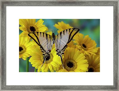Short-lined Kite Swallowtail Butterfly Framed Print