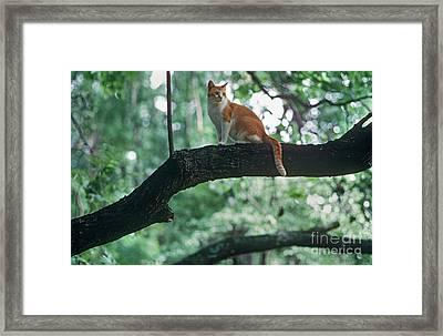 Shorthair Cat Framed Print by James L. Amos