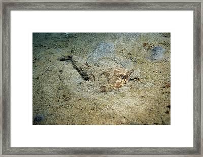 Shortnose Batfish Ogcocephalus Nasutus Framed Print by Andrew J. Martinez