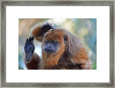 Should I Wave Or Salute  A Brown Howler Monkey Framed Print by Jim Fitzpatrick