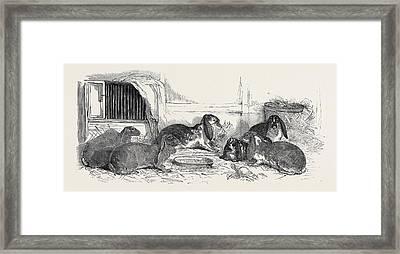 Show Of The Metropolitan Fancy Rabbit Club Framed Print