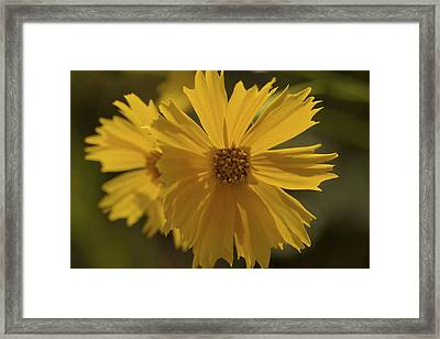 Show Off - Coreopsis Photograph Framed Print