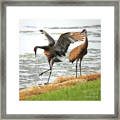 Showoff Framed Print by Carol Groenen
