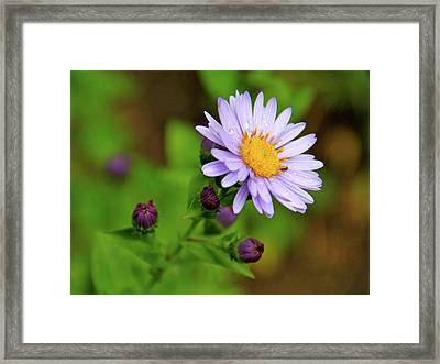 Showy Aster Framed Print by Ed  Riche