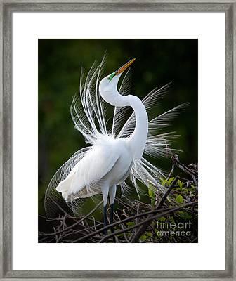 Showy Egret Framed Print