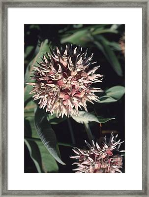 Showy Milkweed Framed Print by William H. Mullins