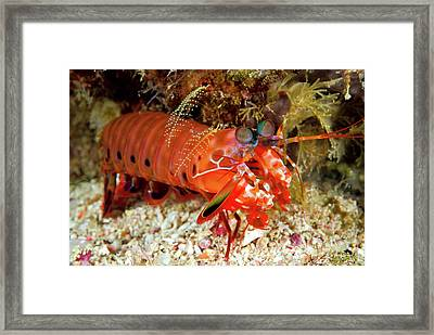 Shrimp On Ocean Floor, Raja Ampat Framed Print by Jaynes Gallery
