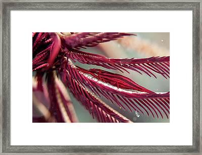 Shrimp On The Arm Of A Featherstar Framed Print