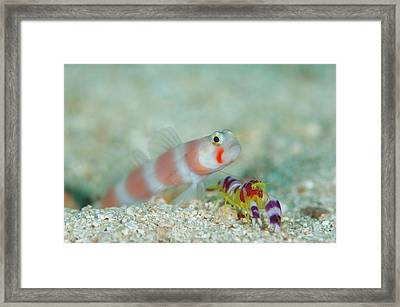 Shrimpgoby With Commensal Shrimp Framed Print by Scubazoo