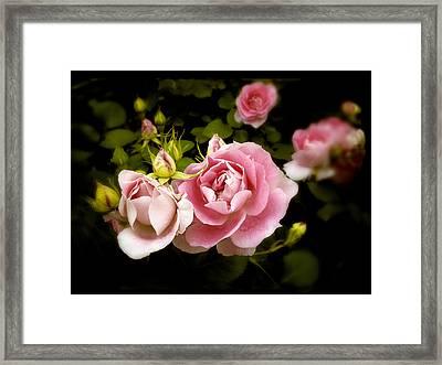 Shrub Rose Framed Print by Jessica Jenney