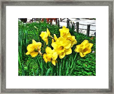 Shy Daffodils  Framed Print
