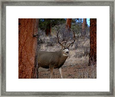 Shy Mule Deer Framed Print by Sherlyn Morefield Gregg