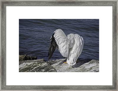 Shy Pelican Framed Print by Diego Re